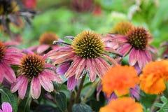 Το λουλούδι Coneflower ανθίζει υπόβαθρα Στοκ Φωτογραφία