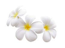 Το λουλούδι Frangipani απομόνωσε το άσπρο υπόβαθρο Στοκ Φωτογραφία