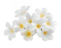 Το λουλούδι Frangipani απομόνωσε το άσπρο υπόβαθρο Στοκ εικόνα με δικαίωμα ελεύθερης χρήσης