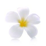 Το λουλούδι Frangipani απομόνωσε το άσπρο υπόβαθρο Στοκ φωτογραφίες με δικαίωμα ελεύθερης χρήσης