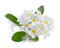 Το λουλούδι Frangipani απομόνωσε το άσπρο υπόβαθρο Στοκ εικόνες με δικαίωμα ελεύθερης χρήσης