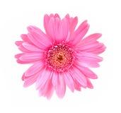 Το λουλούδι Gerbera απομόνωσε το άσπρο υπόβαθρο Στοκ φωτογραφίες με δικαίωμα ελεύθερης χρήσης