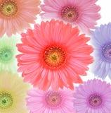 Το λουλούδι Gerbera colorfull απομόνωσε το άσπρο υπόβαθρο Στοκ Φωτογραφίες