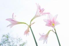 Το λουλούδι Hippeastrum μοιάζει με ένα λευκό κρίνων με τα ρόδινα λωρίδες PL Στοκ Φωτογραφία