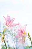 Το λουλούδι Hippeastrum μοιάζει με ένα λευκό κρίνων με τα ρόδινα λωρίδες PL Στοκ εικόνα με δικαίωμα ελεύθερης χρήσης