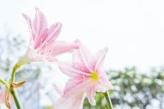 Το λουλούδι Hippeastrum μοιάζει με ένα λευκό κρίνων με τα ρόδινα λωρίδες PL Στοκ Εικόνα