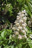 Το λουλούδι horse-chestnut Στοκ Εικόνες