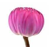 Το λουλούδι Lotus απομόνωσε το άσπρο υπόβαθρο Στοκ Εικόνες
