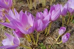 Το λουλούδι Pasque καλείται επίσης λουλούδι ημέρας Μαΐου Αυξάνεται το άγριο α Στοκ Εικόνες
