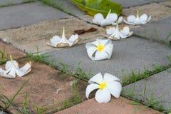 Το λουλούδι Plumeria βάζει στο τσιμεντένιο πάτωμα Στοκ Φωτογραφία