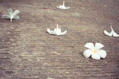 Το λουλούδι Plumeria βάζει στο τσιμεντένιο πάτωμα Στοκ Εικόνες