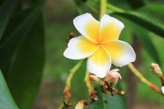 Το λουλούδι Plumeria κίτρινο, έρημος αυξήθηκε όμορφος Στοκ φωτογραφία με δικαίωμα ελεύθερης χρήσης