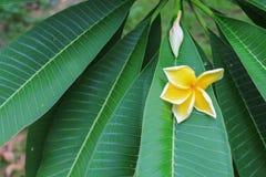 Το λουλούδι Plumeria κίτρινο, έρημος αυξήθηκε όμορφος Στοκ Φωτογραφίες