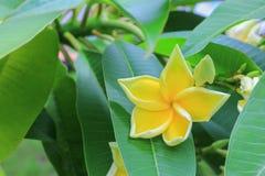 Το λουλούδι Plumeria κίτρινο, έρημος αυξήθηκε όμορφος Στοκ εικόνα με δικαίωμα ελεύθερης χρήσης
