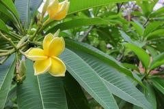 Το λουλούδι Plumeria κίτρινο, έρημος αυξήθηκε όμορφος Στοκ φωτογραφίες με δικαίωμα ελεύθερης χρήσης
