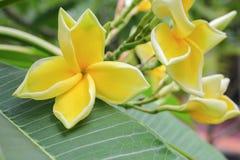 Το λουλούδι Plumeria κίτρινο, έρημος αυξήθηκε όμορφος Στοκ Εικόνες