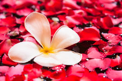 Το λουλούδι Plumeria και κόκκινος αυξήθηκε πέταλο στη λίμνη SPA Στοκ εικόνες με δικαίωμα ελεύθερης χρήσης