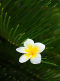 Το λουλούδι Plumeria που κολλιέται στο πράσινο φύλλο Στοκ Εικόνες