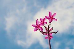 Το λουλούδι Plumeria στο ρόδινο χρώμα έχει το μπλε ουρανό σε ένα υπόβαθρο Στοκ Εικόνες