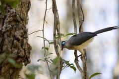 Το λοφιοφόρο coua, cristata Coua, είναι υπέροχα χρωματισμένο πουλί, επιφύλαξη Tsingy Ankarana, Μαδαγασκάρη Στοκ Εικόνα