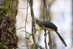Το λοφιοφόρο coua, cristata Coua, είναι υπέροχα χρωματισμένο πουλί, επιφύλαξη Tsingy Ankarana, Μαδαγασκάρη Στοκ φωτογραφία με δικαίωμα ελεύθερης χρήσης