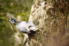 Το λοφιοφόρο coua, cristata Coua, είναι υπέροχα χρωματισμένο πουλί, επιφύλαξη Tsingy Ankarana, Μαδαγασκάρη Στοκ Φωτογραφίες