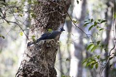 Το λοφιοφόρο coua, cristata Coua, είναι υπέροχα χρωματισμένο πουλί, επιφύλαξη Tsingy Ankarana, Μαδαγασκάρη Στοκ φωτογραφίες με δικαίωμα ελεύθερης χρήσης