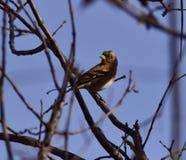 Το πάρκο για να λάβει τις διαφορετικές μορφές Songbird Στοκ Φωτογραφία