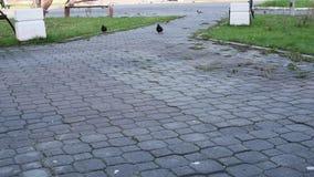 Το πάρκο φθινοπώρου στην πόλη, περιστέρια περπατά στη χλόη και το φύλλωμα ψάχνοντας τους σπόρους για τα τρόφιμα απόθεμα βίντεο