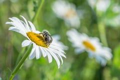 Το πένθος αυξήθηκε κάνθαρος σε ένα λιβάδι λουλουδιών, Γερμανία στοκ φωτογραφία με δικαίωμα ελεύθερης χρήσης
