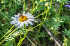Το πένθος αυξήθηκε κάνθαρος σε ένα λιβάδι λουλουδιών, Γερμανία στοκ εικόνες