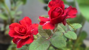 Το πέταλο τριαντάφυλλών μου Στοκ Εικόνες