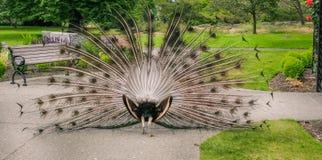 Το πίσω μέρος ενός Peacock στοκ εικόνες με δικαίωμα ελεύθερης χρήσης