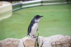 Το παγκόσμιο ` s μικρότερο penguin - ο μικρός ανήλικος Penguin ή Eudyptula στοκ εικόνες