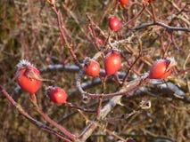 Το παγωμένο ισχίο αυξήθηκε με τα κόκκινα φρούτα Στοκ Φωτογραφία