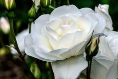 Το παγόβουνο άσπρο αυξήθηκε λουλούδι Στοκ Φωτογραφίες