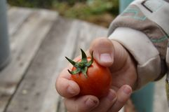 Το παιδί κρατά στο χέρι του ντομάτες τις ώριμες κερασιών, υπαίθριες Εστίαση στις ντομάτες Στοκ Εικόνες