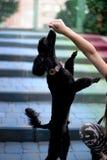 Το παιδί παίζει με μαύρο poodle Στοκ Φωτογραφία