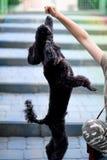 Το παιδί παίζει με μαύρο poodle Στοκ Εικόνες