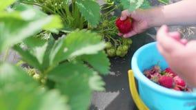 Το παιδί συλλέγει το κόκκινο μούρο Βικτώρια Ήπια σπάζει το μούρο και το βάζει σε έναν κάδο παιδιών ` s Συγκομιδή στον κήπο απόθεμα βίντεο