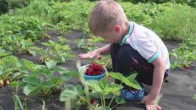 Το παιδί συλλέγει το κόκκινο ώριμο κόκκινο μούρο Ήπια σπάζει το μούρο και το βάζει σε έναν κάδο παιδιών ` s Συγκομιδή φιλμ μικρού μήκους