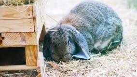 Το παιχνίδι λαγουδάκι Πάσχας, τρώει, στηρίζεται στη μάντρα φιλμ μικρού μήκους