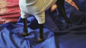 Το παιχνίδι-τεριέ σκυλιών αποφλοιώνει και θέτει στη κάμερα σε έναν μπλε καναπέ φιλμ μικρού μήκους