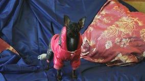 Το παιχνίδι-τεριέ σκυλιών αποφλοιώνει και θέτει στη κάμερα σε έναν μπλε καναπέ απόθεμα βίντεο