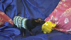 Το παιχνίδι-τεριέ σκυλιών αποφλοιώνει και παίζει με ένα κίτρινο παιχνίδι σε έναν μπλε καναπέ απόθεμα βίντεο