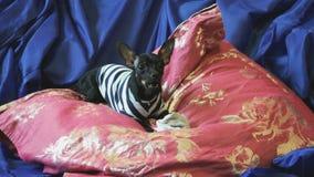 Το παιχνίδι-τεριέ σκυλιών αποφλοιώνει και παίζει με ένα παιχνίδι σε έναν μπλε καναπέ με τα μαξιλάρια φιλμ μικρού μήκους