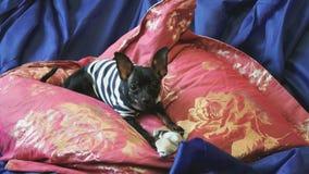 Το παιχνίδι-τεριέ σκυλιών αποφλοιώνει και παίζει με ένα παιχνίδι σε έναν μπλε καναπέ με τα μαξιλάρια απόθεμα βίντεο
