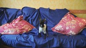 Το παιχνίδι-τεριέ σκυλιών πιάνει ένα παιχνίδι σε έναν μπλε καναπέ με τα κόκκινα μαξιλάρια απόθεμα βίντεο