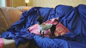 Το παιχνίδι-τεριέ σκυλιών πιάνει ένα παιχνίδι σε έναν μπλε καναπέ απόθεμα βίντεο