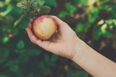 Το παιδί μαζεύει με το χέρι το κόκκινο ώριμο μήλο στο δέντρο στον κήπο Στοκ Φωτογραφία
